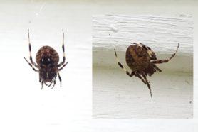 Picture of Neoscona crucifera (Hentz Orb-weaver) - Dorsal,Ventral,Webs