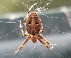Picture of Neoscona arabesca (Arabesque Orb-weaver) - Dorsal,Webs