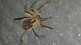 Picture of Schizocosa mccooki - Female - Dorsal,Spiderlings