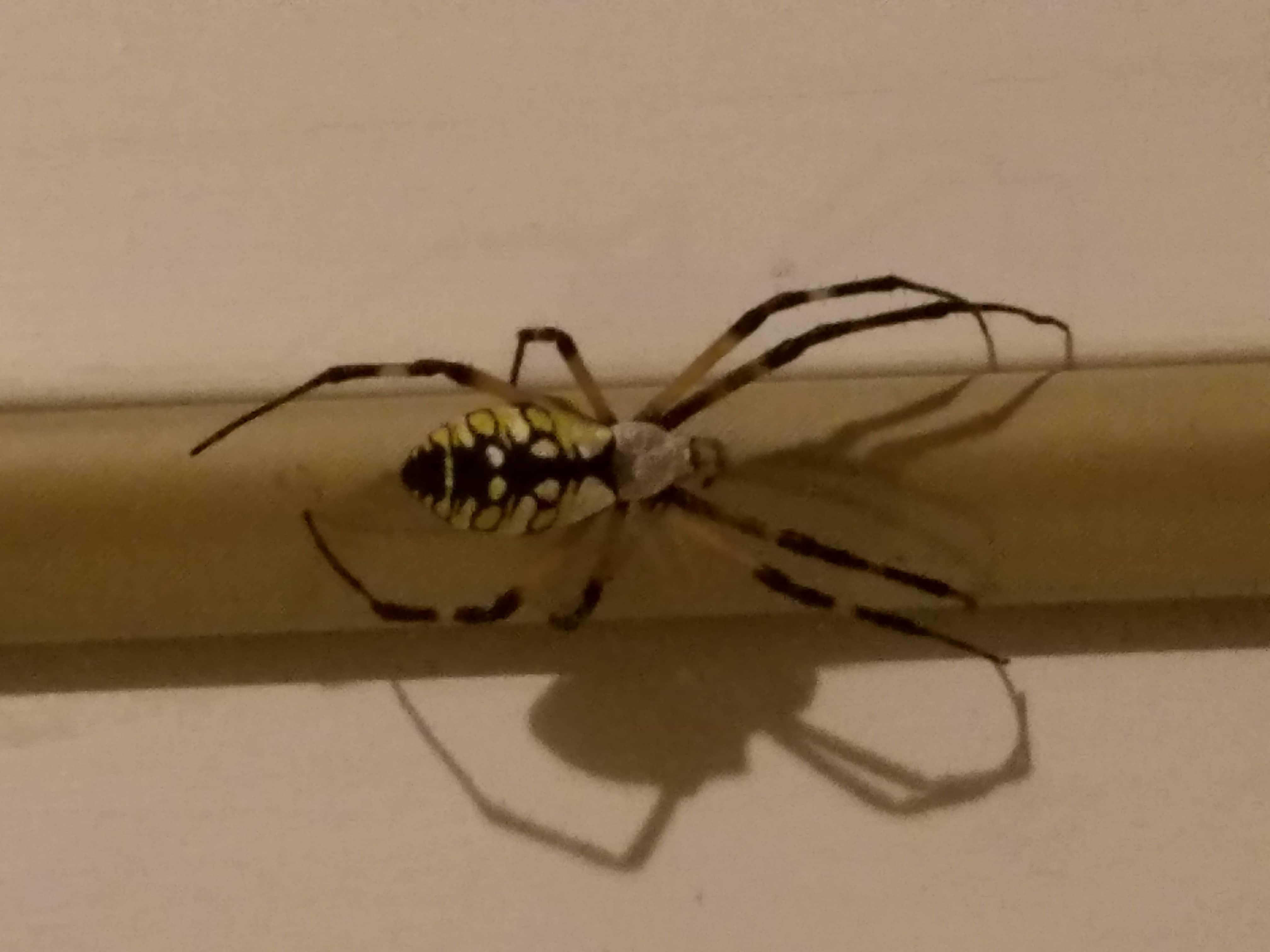 Female Argiope aurantia (Black and Yellow Garden Spider) in CATAWBA ...