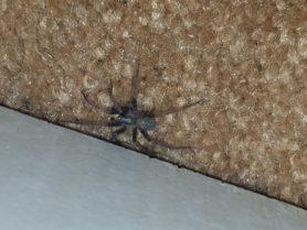 Picture of Tegenaria domestica (Barn Funnel Weaver) - Male - Dorsal