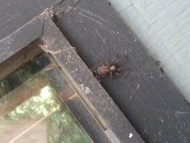 Picture of Badumna longinqua (Grey House Spider) - Dorsal