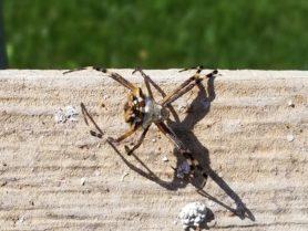 Picture of Argiope argentata (Silver Garden Spider) - Dorsal
