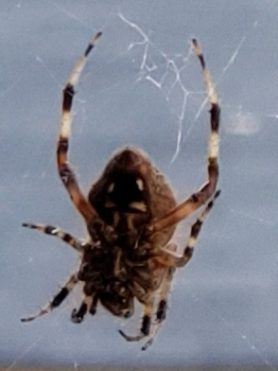 Picture of Neoscona spp. (Spotted Orb-weavers) - Ventral,Webs
