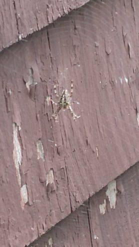 Picture of Araneus diadematus (Cross Orb-weaver) - Dorsal,Webs