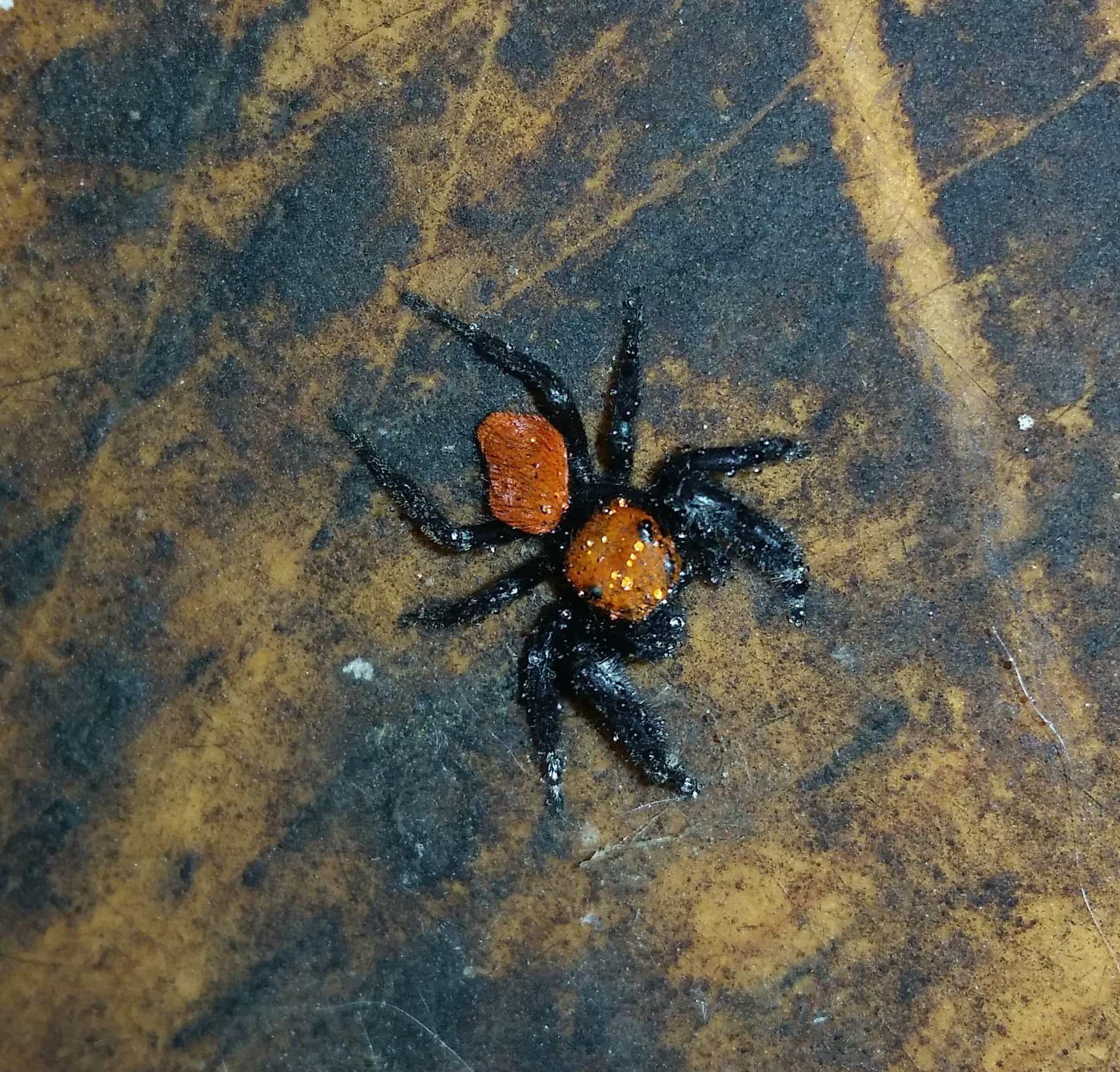 Picture of Phidippus apacheanus (Apache Jumping Spider) - Dorsal