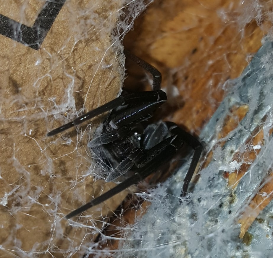 Picture of Kukulcania hibernalis (Southern House Spider) - Female - Eyes,Webs