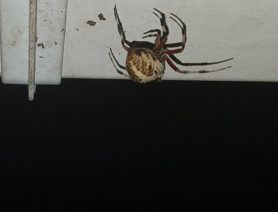 Picture of Neoscona domiciliorum (Spotted Orb-weaver) - Dorsal