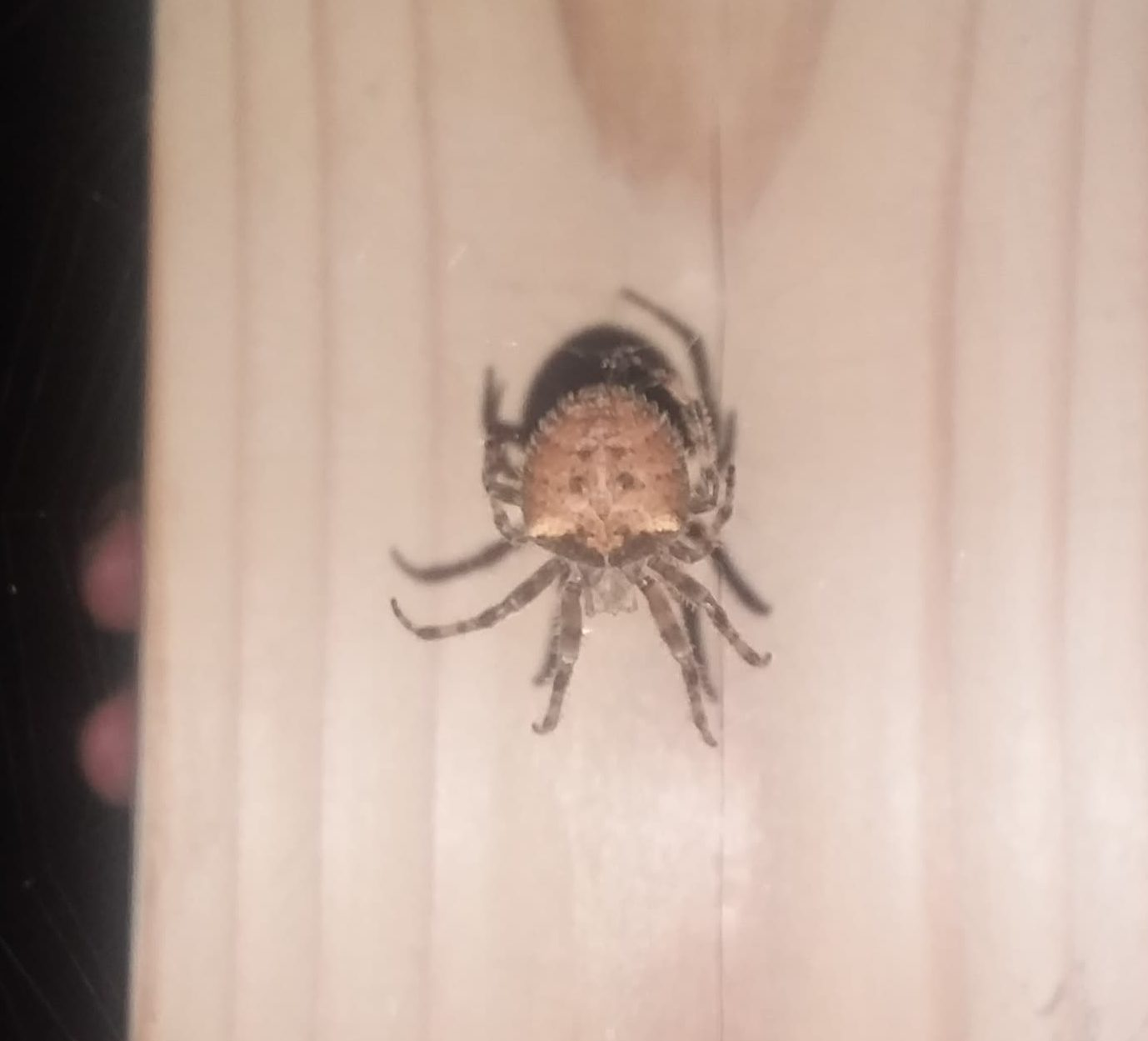 Picture of Araneus gemmoides (Cat-faced Spider) - Dorsal