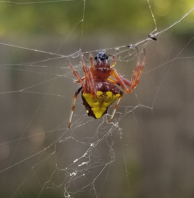 Picture of Verrucosa arenata (Arrowhead Orb-weaver) - Female - Dorsal,Webs,Prey