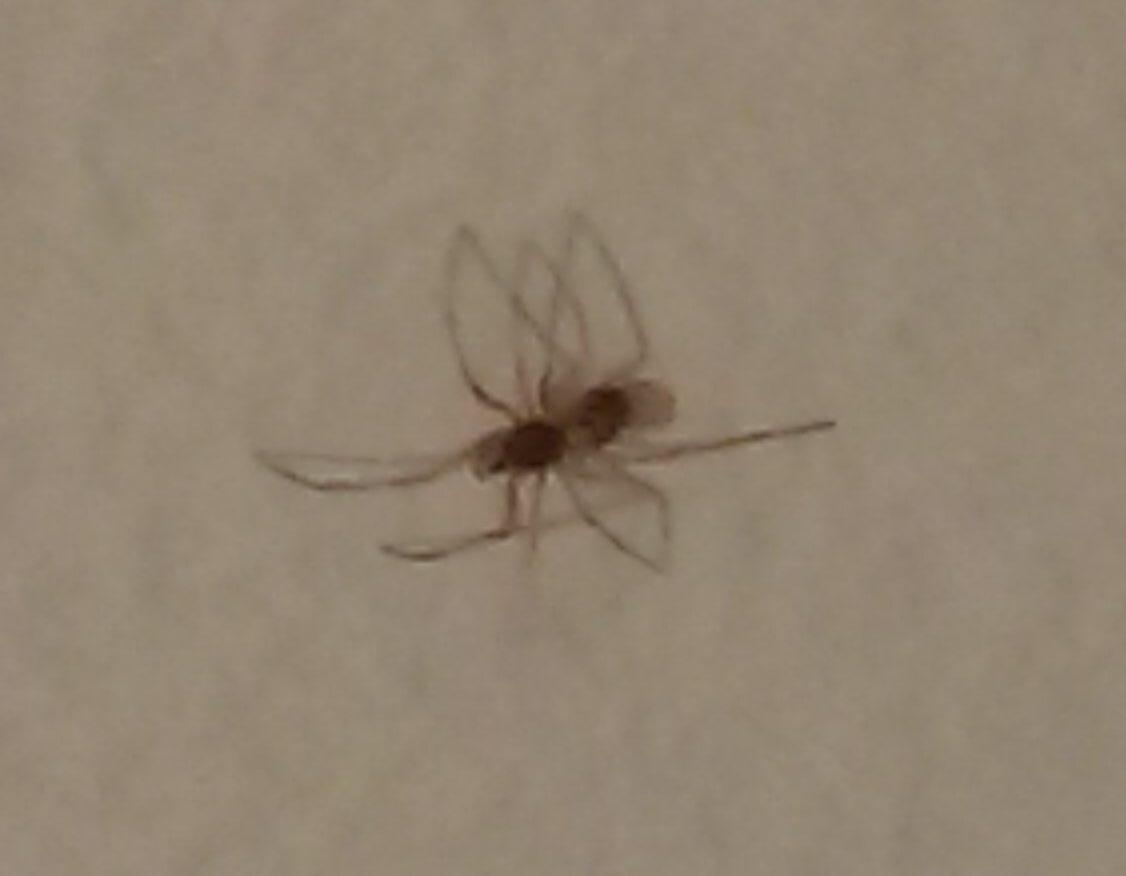 Picture of Steatoda triangulosa (Triangulate Cobweb Spider) - Male - Dorsal