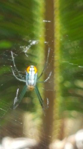 Picture of Leucauge argyrobapta (Mabel Orchard Orb-weaver) - Dorsal,Webs