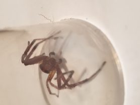 Picture of Xysticus spp. (Ground Crab Spiders) - Male