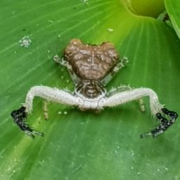 Featured spider picture of Phrynarachne ceylonica (Bird-dung Crab Spider)
