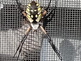 Picture of Argiope aurantia (Black and Yellow Garden Spider) - Female - Dorsal