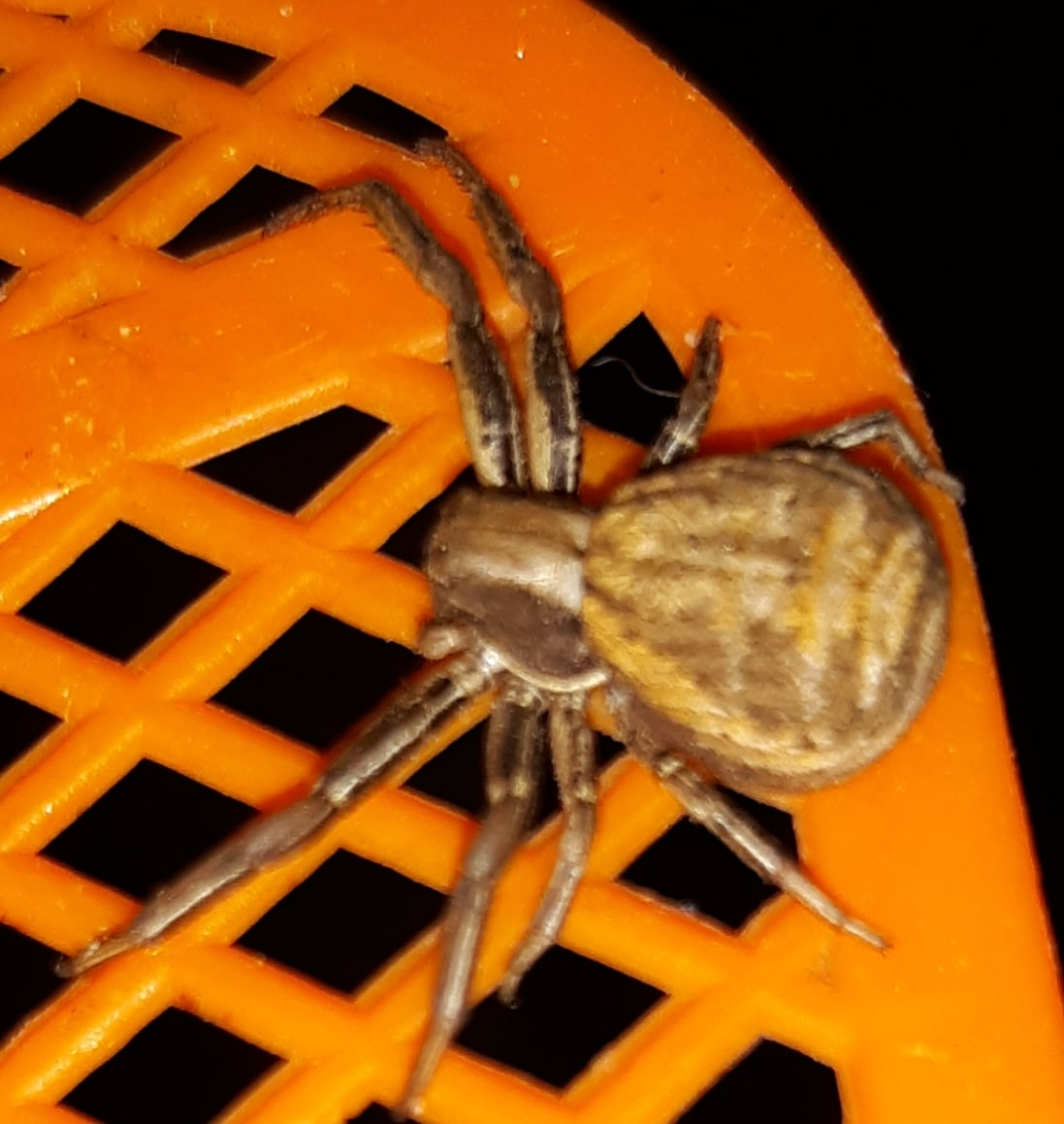 Picture of Xysticus (Ground Crab Spiders) - Dorsal