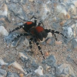 Featured spider picture of Loureedia lucasi