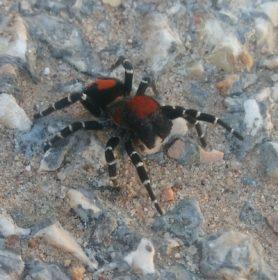 Picture of Loureedia spp. - Dorsal
