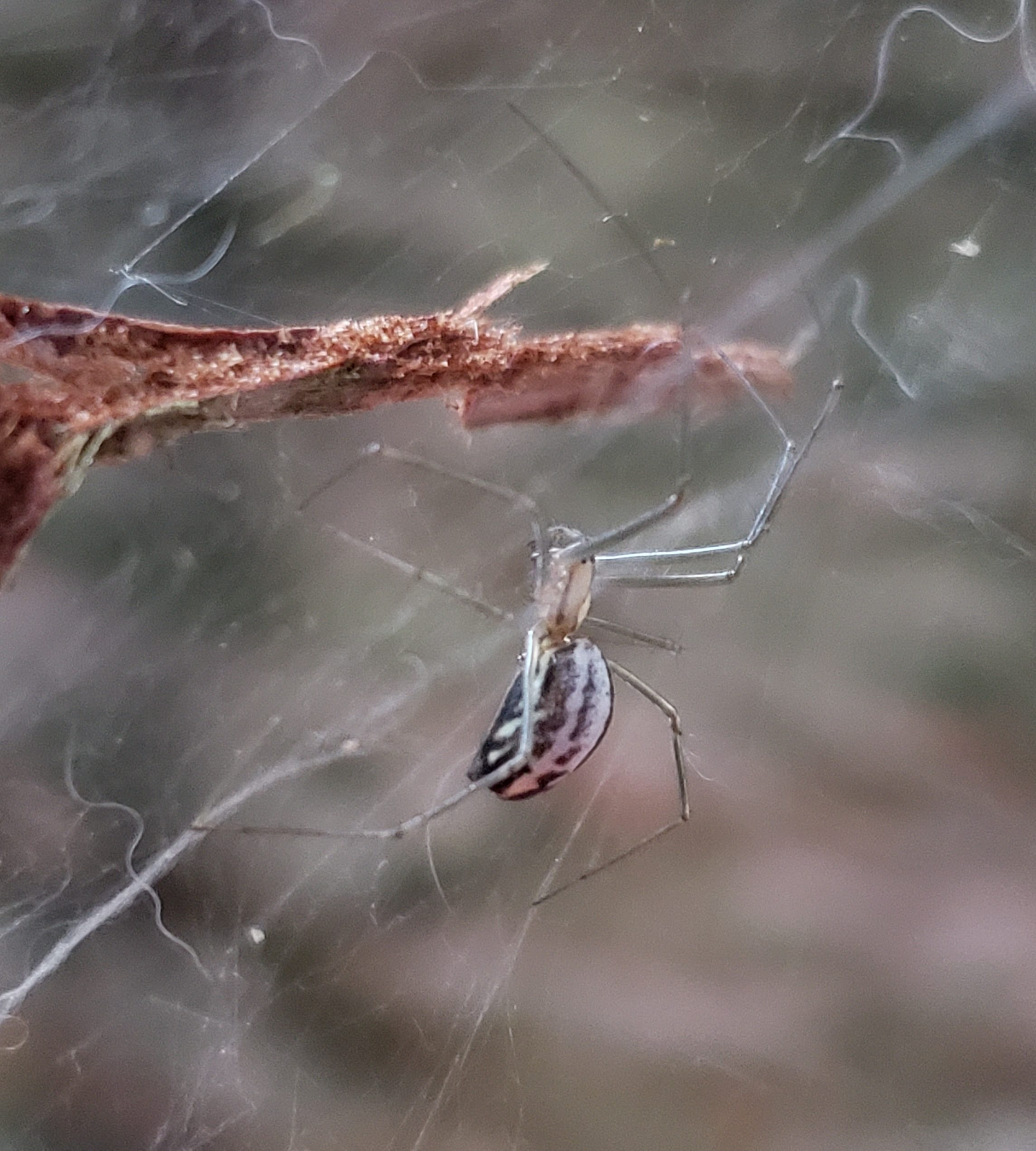 Picture of Neriene litigiosa (Sierra Dome Spider) - Lateral,Webs