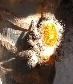 Picture of Phidippus regius (Regal Jumping Spider) - Dorsal