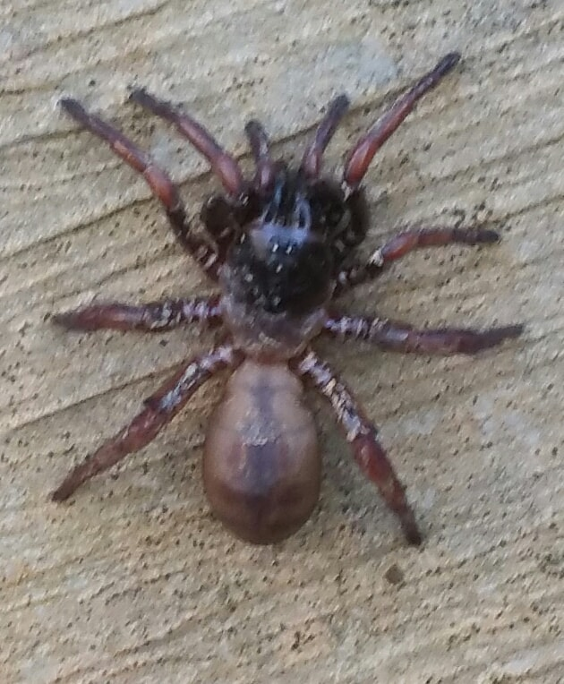 Picture of Myrmekiaphila (Wafer-lid Trapdoor Spiders) - Dorsal