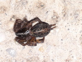 Picture of Agelenidae (Funnel Weavers) - Dorsal