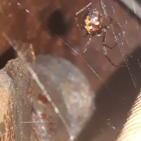 Picture of Steatoda triangulosa (Triangulate Cobweb Spider) - Dorsal,Webs