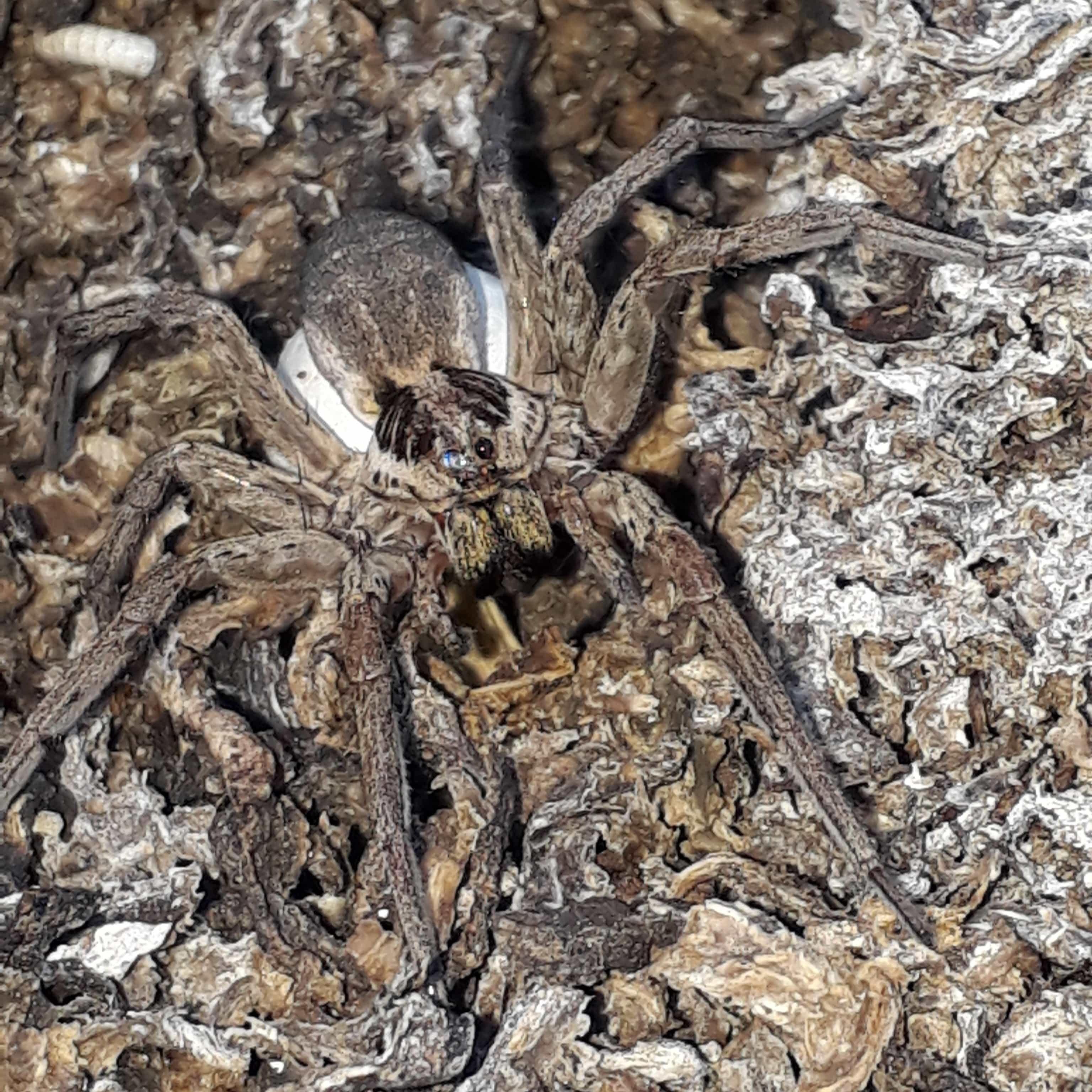 Picture of Hogna radiata - Female - Egg sacs,Eyes