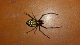 Picture of Nephilingis cruentata (African Hermit Spider) - Female - Ventral