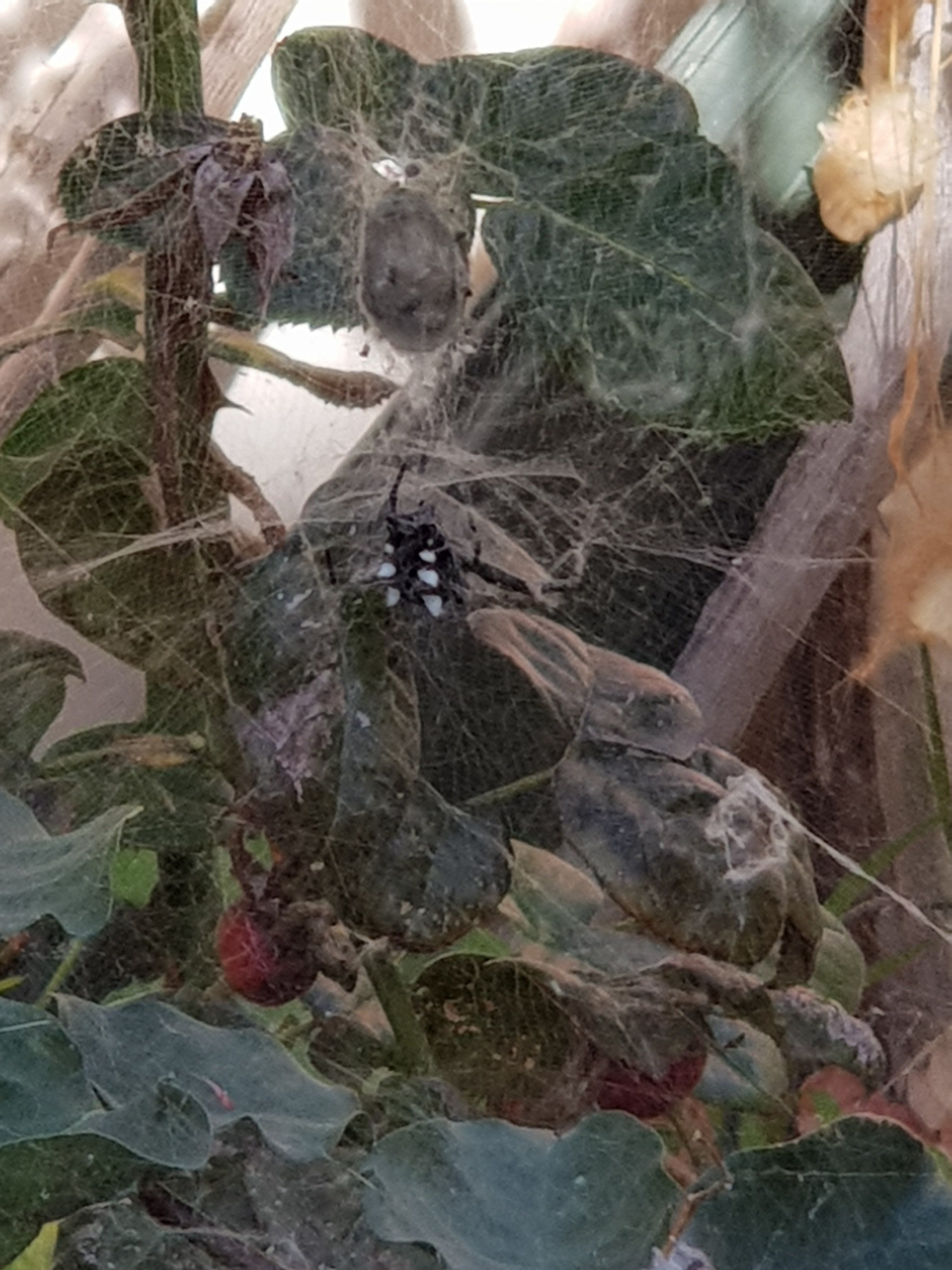 Picture of Cyrtophora citricola (Tropical Tent-web Spider) - Dorsal,Webs