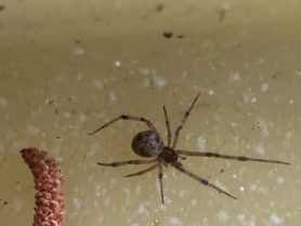 Picture of Parasteatoda tepidariorum (Common House Spider) - Dorsal