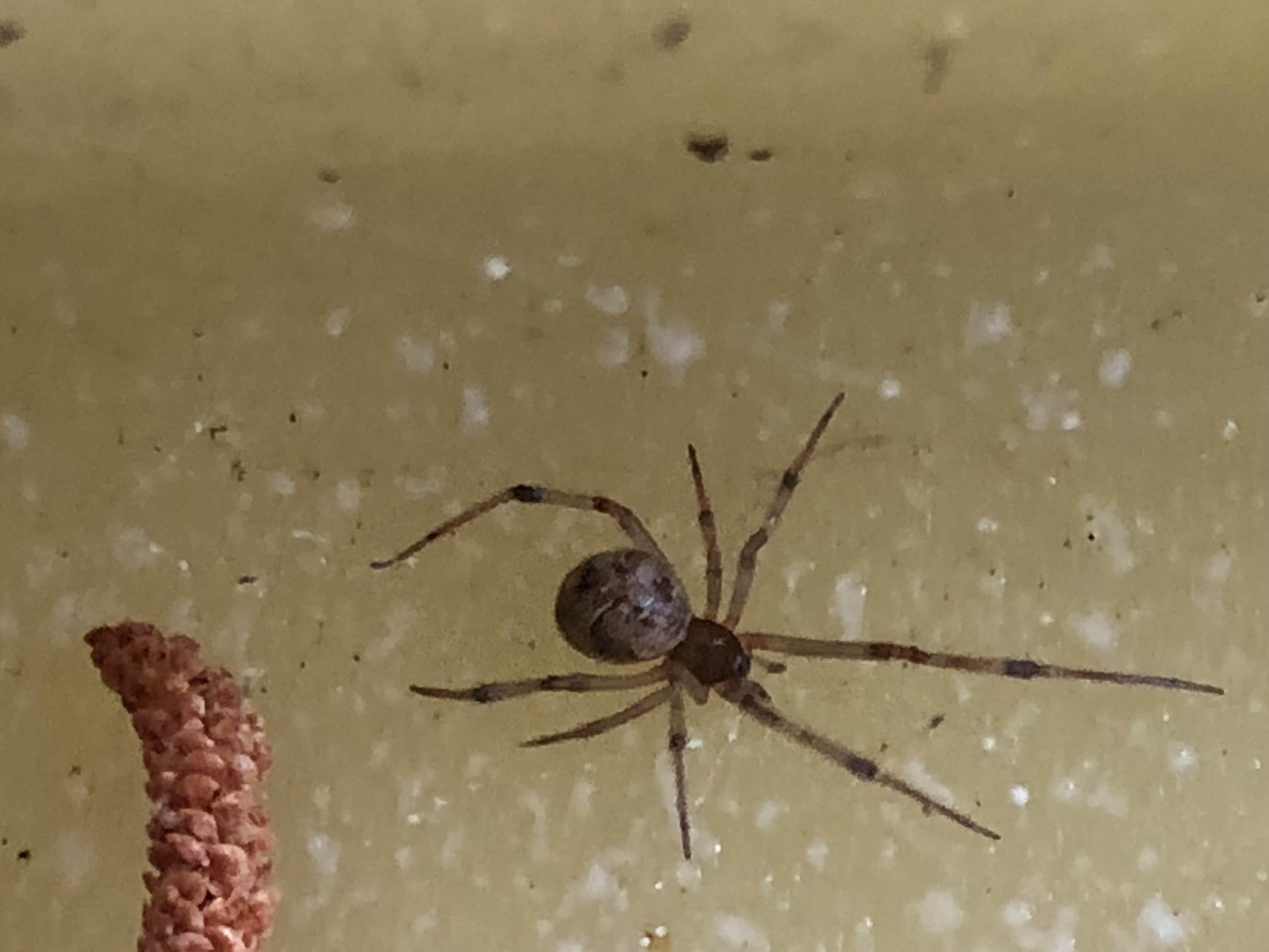 Picture of Parasteatoda tepidariorum (Common House Spider) - Dorsal