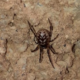 Picture of Steatoda albomaculata (White-spotted False Widow)