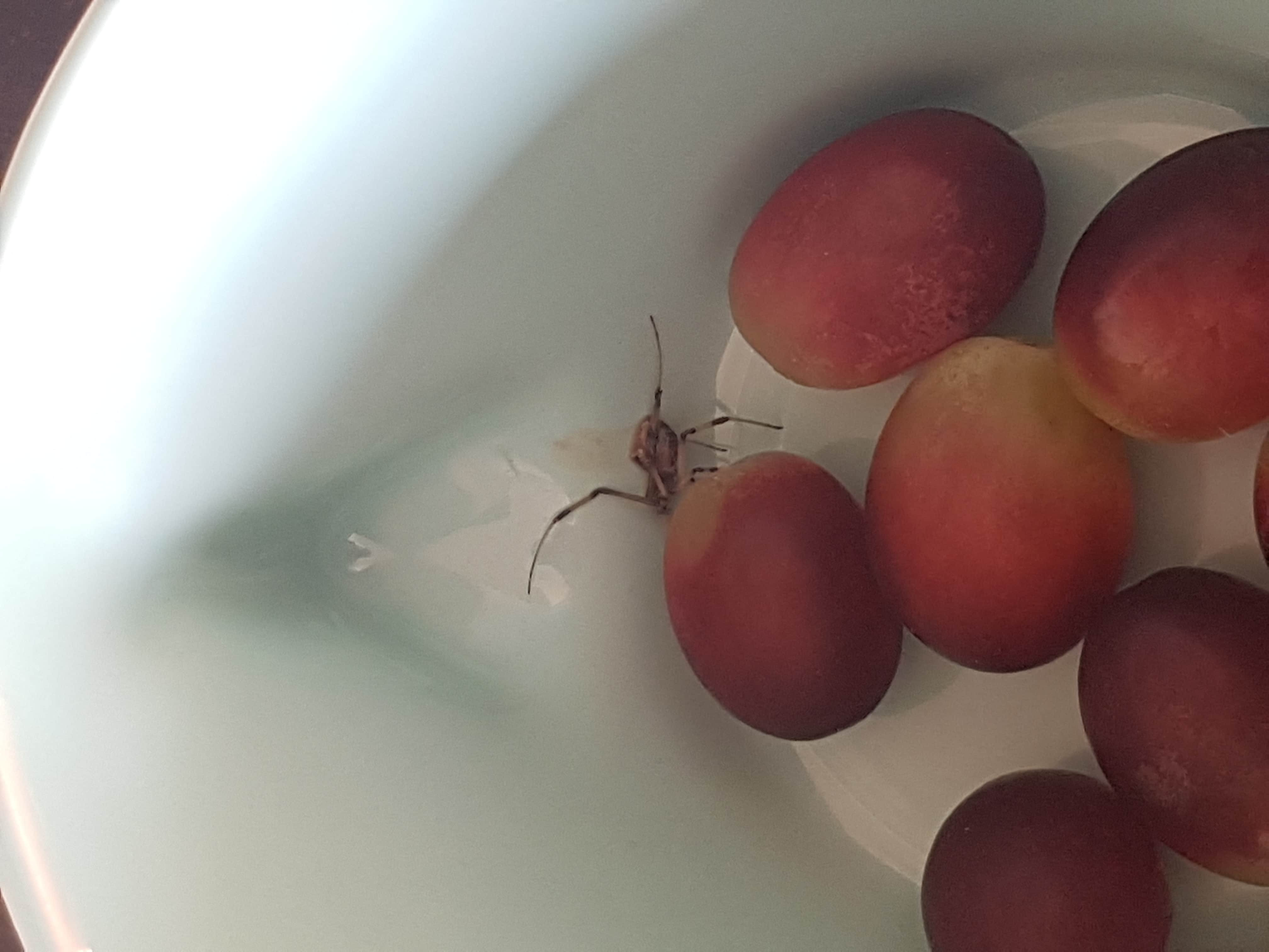 Picture of Latrodectus (Widow Spiders) - Lateral,Accidental adventive