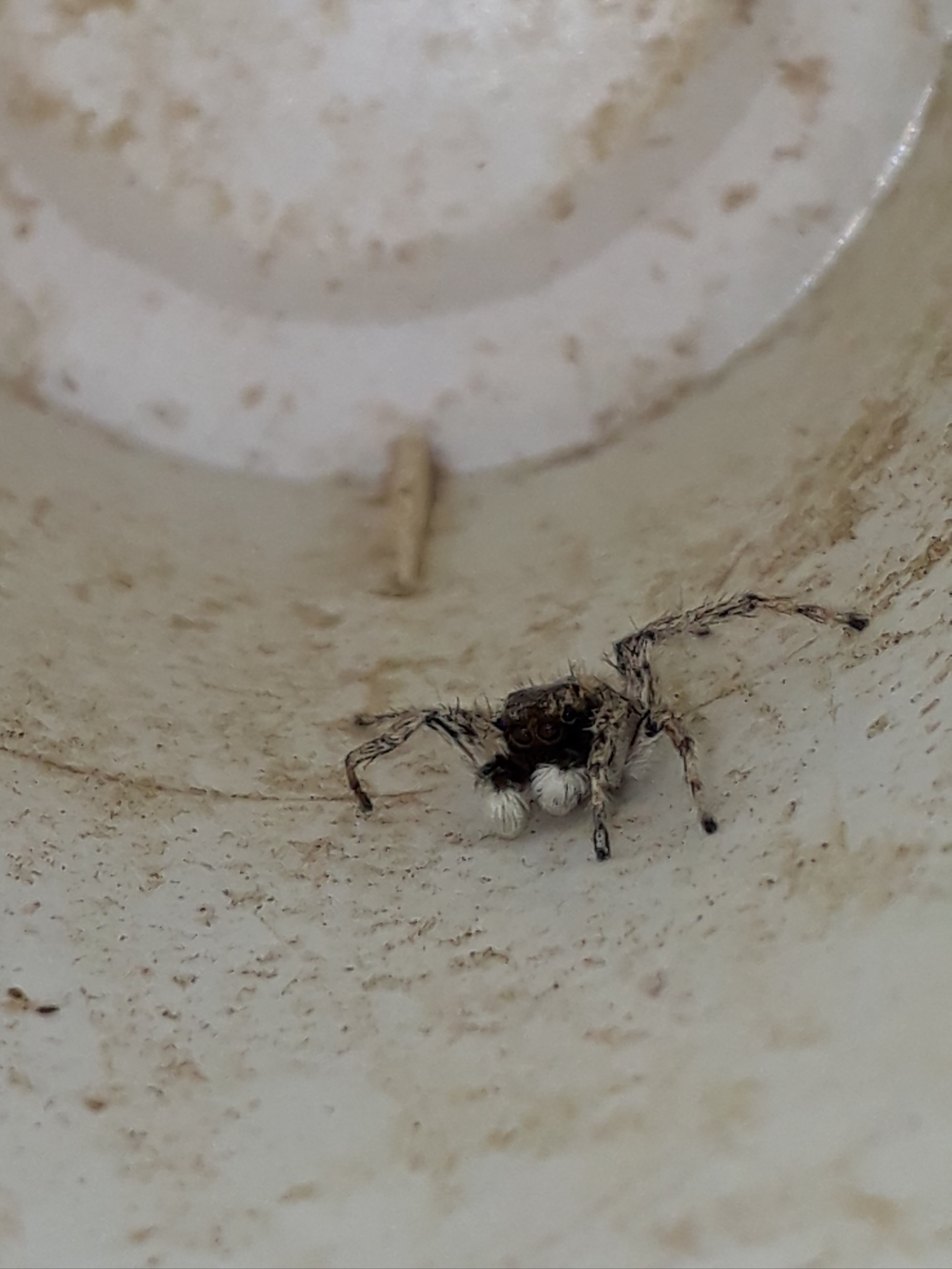 Picture of Salticidae (Jumping Spiders) - Male - Eyes