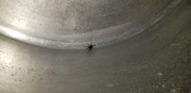 Picture of Tegenaria domestica (Barn Funnel Weaver)
