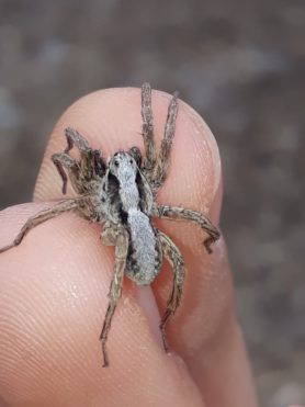Picture of Lycosidae (Wolf Spiders) - Male - Dorsal