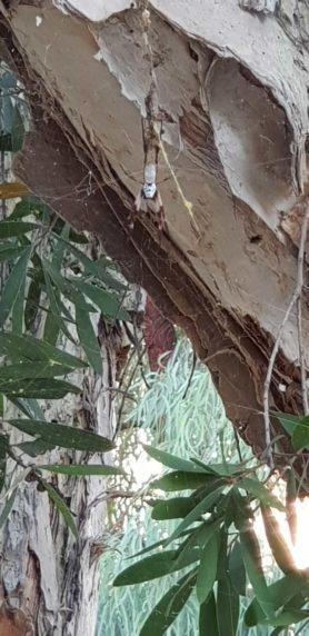 Picture of Nephila edulis (Australian Golden Orb-weaver) - Dorsal,Webs