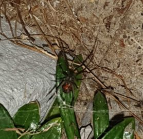 Picture of Latrodectus spp. (Widow Spiders) - Ventral,Webs