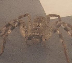 Picture of Sparassidae (Giant Crab Spiders)