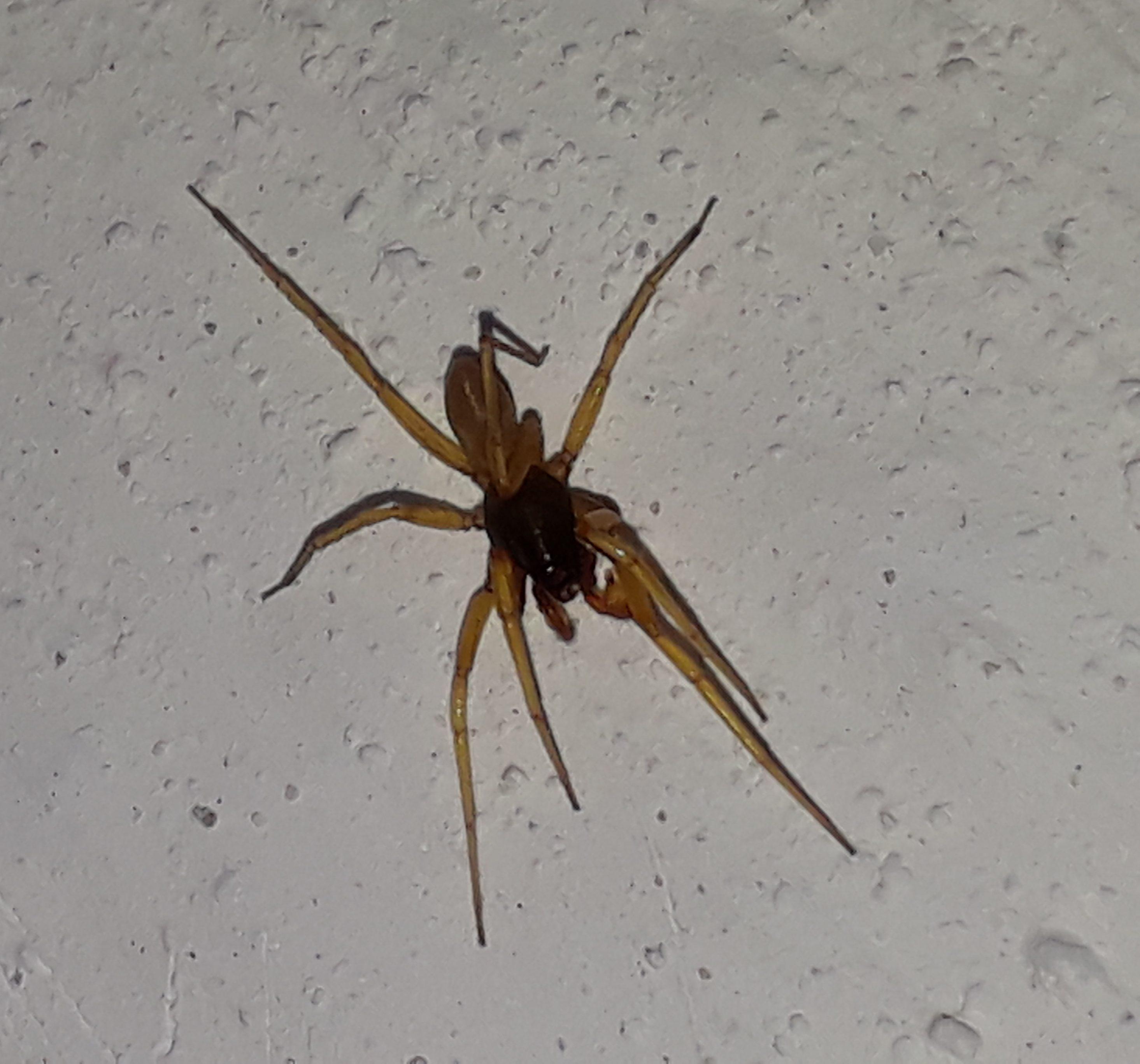 Picture of Dysderidae (Dysderid Spiders) - Dorsal
