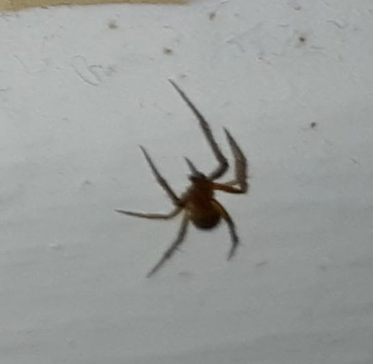 Picture of Nesticodes rufipes (Red House Spider)