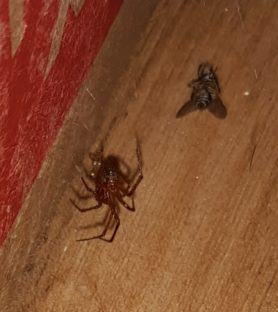 Picture of Nesticodes rufipes (Red House Spider) - Ventral,Prey