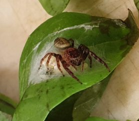 Picture of Salticidae (Jumping Spiders) - Female - Dorsal,Egg sacs