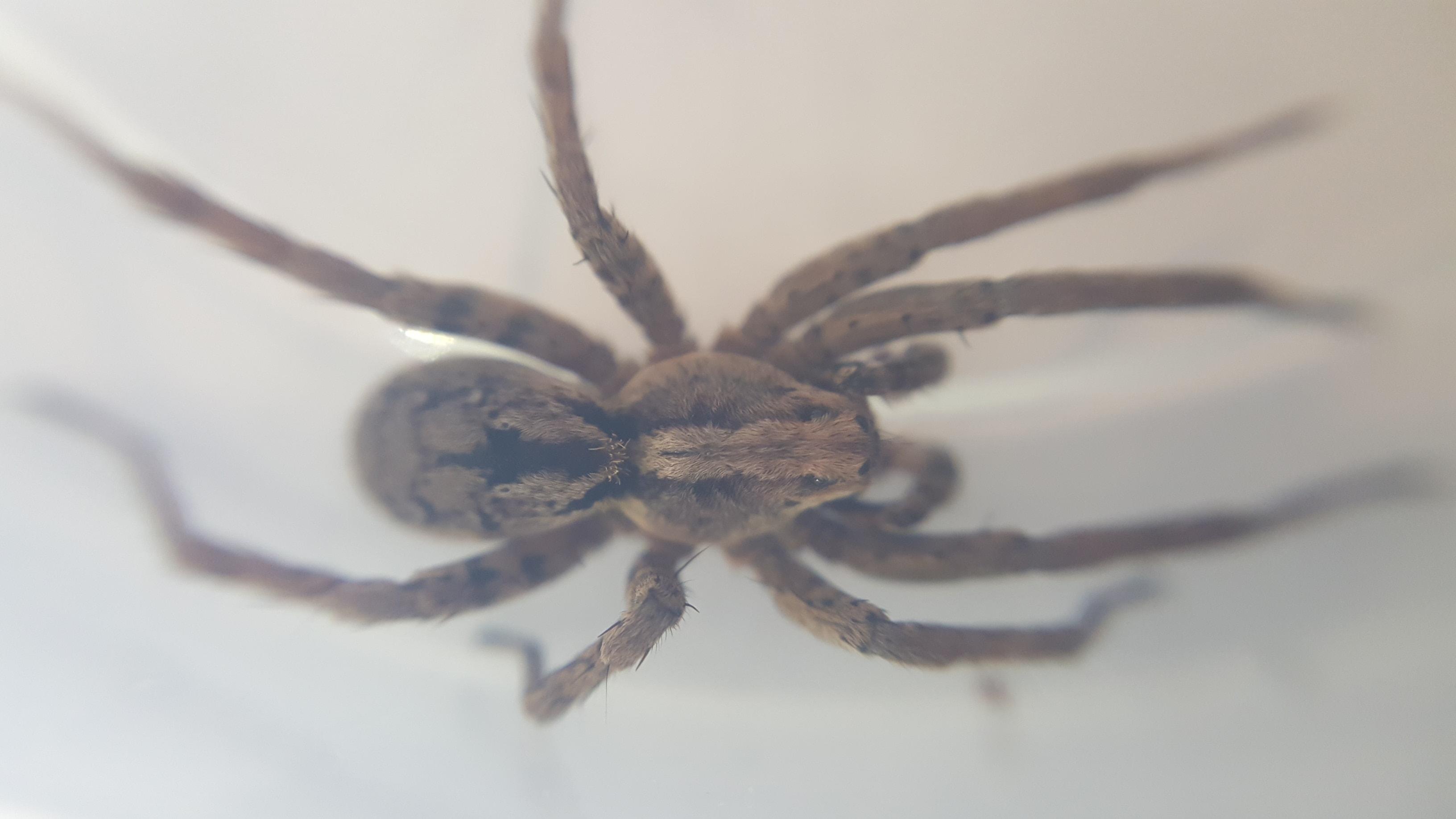 Picture of Alopecosa kochi - Male - Dorsal
