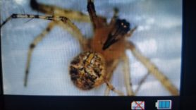 Picture of Mimetidae (Pirate Spiders) - Dorsal