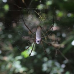 Featured spider picture of Nephila cornuta
