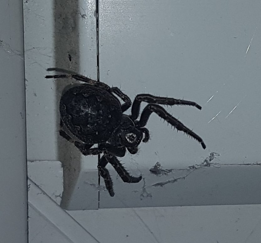 Picture of Nuctenea umbratica (Walnut Orb-weaver) - Female - Dorsal