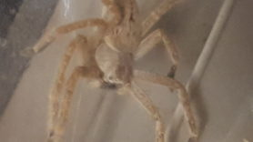 Picture of Olios giganteus (Giant Crab Spider) - Dorsal