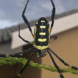 Featured spider picture of Trichonephila senegalensis (Banded-legged Golden Orb-weaver)